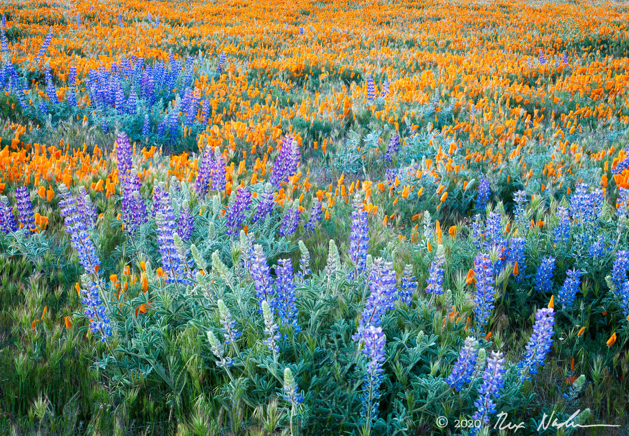 Lupine and Poppies - Lancaster, CA