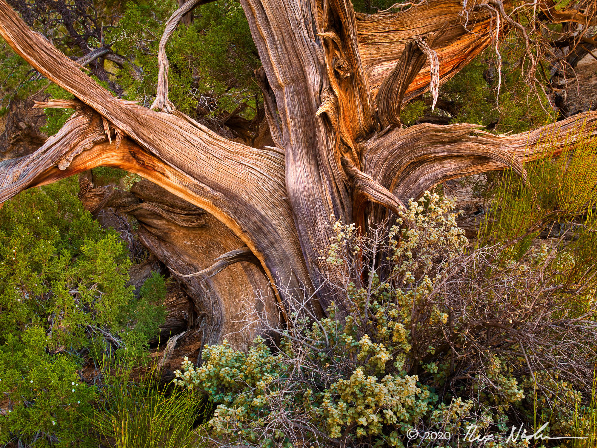 The Struggle Continues - Mesquite Tree, Capital Reef NP