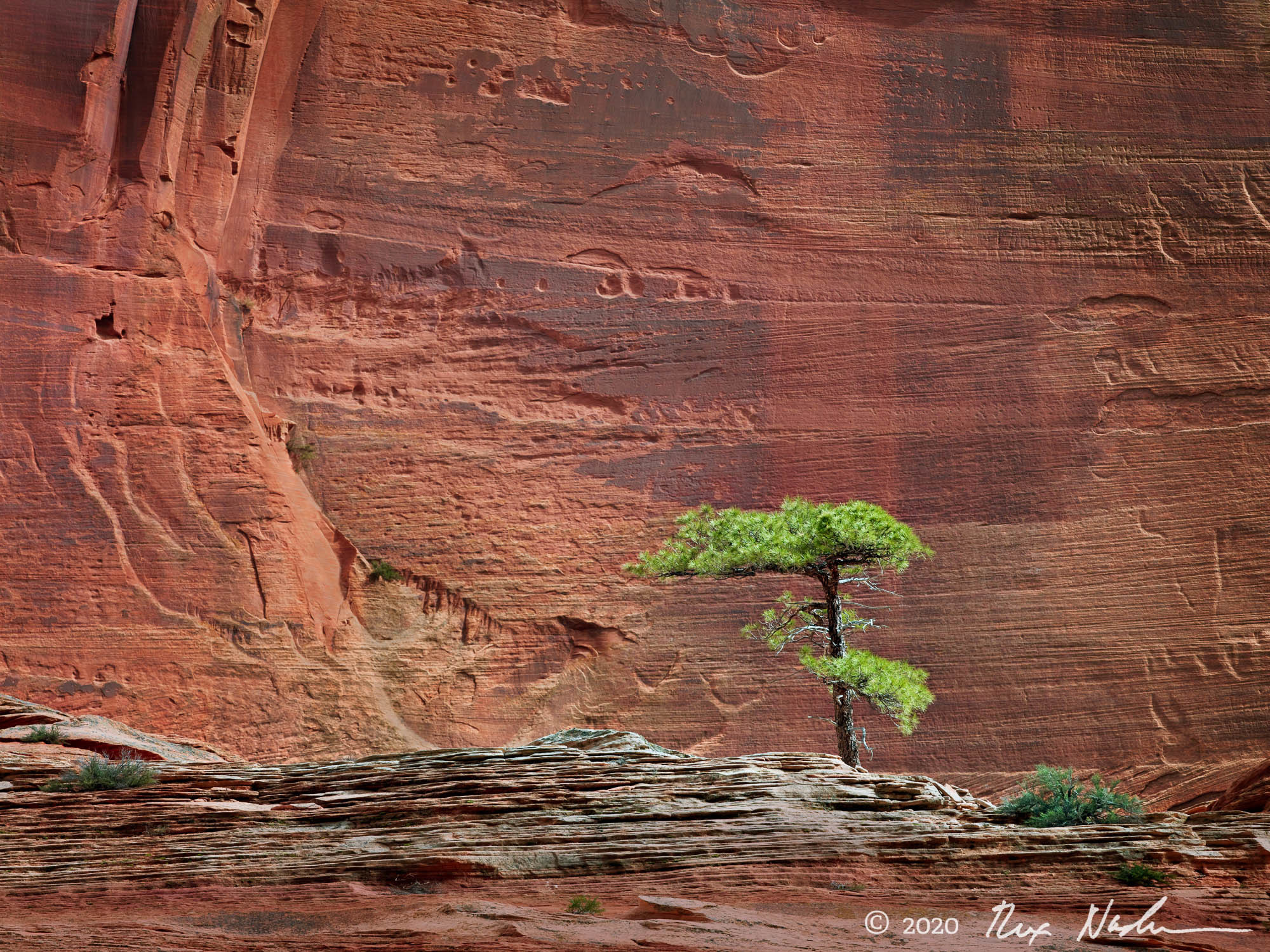 Intelligent Life - Young Pine Tree, Zion NP