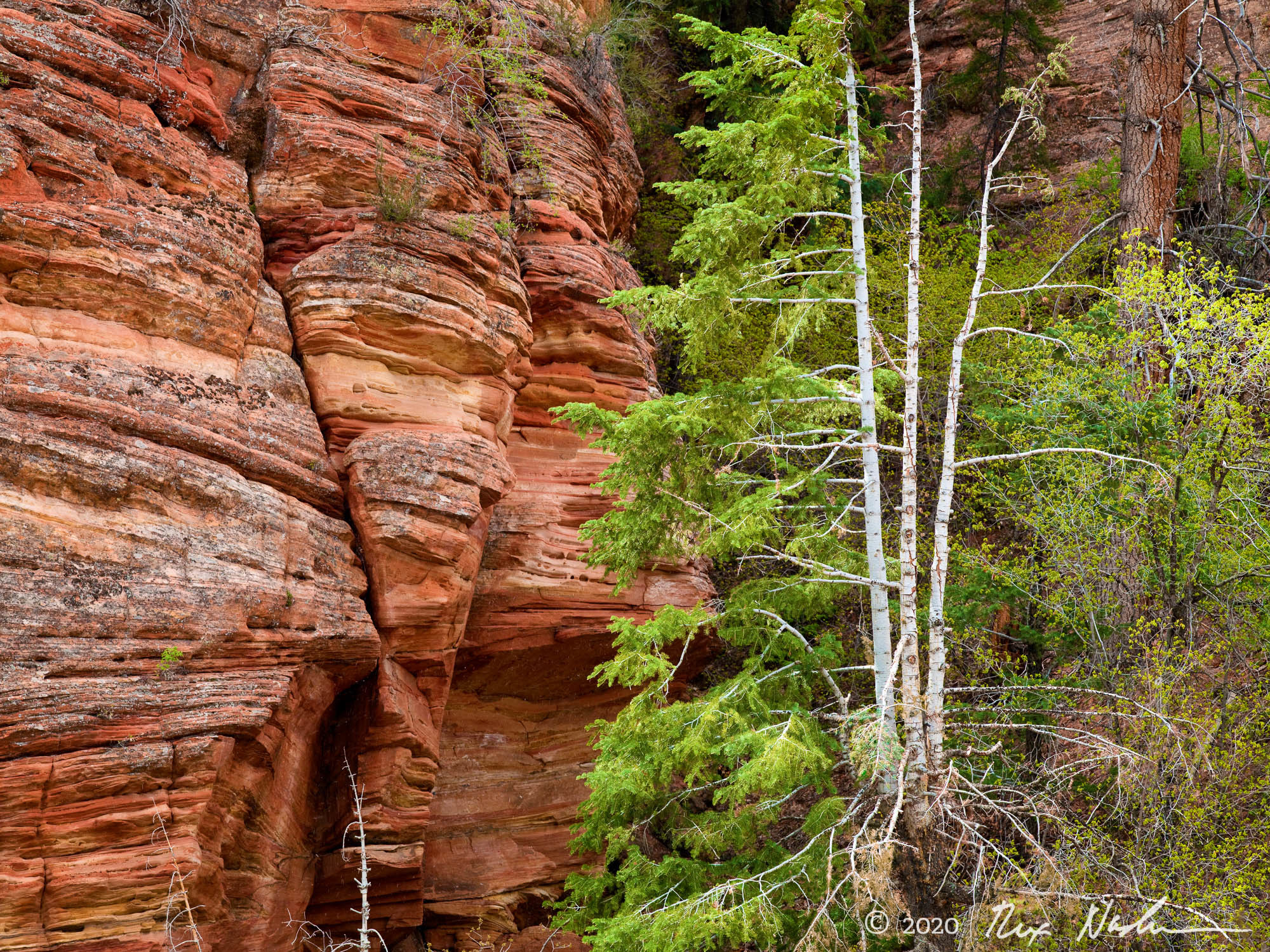 Firs with Sandstone - Zion NP