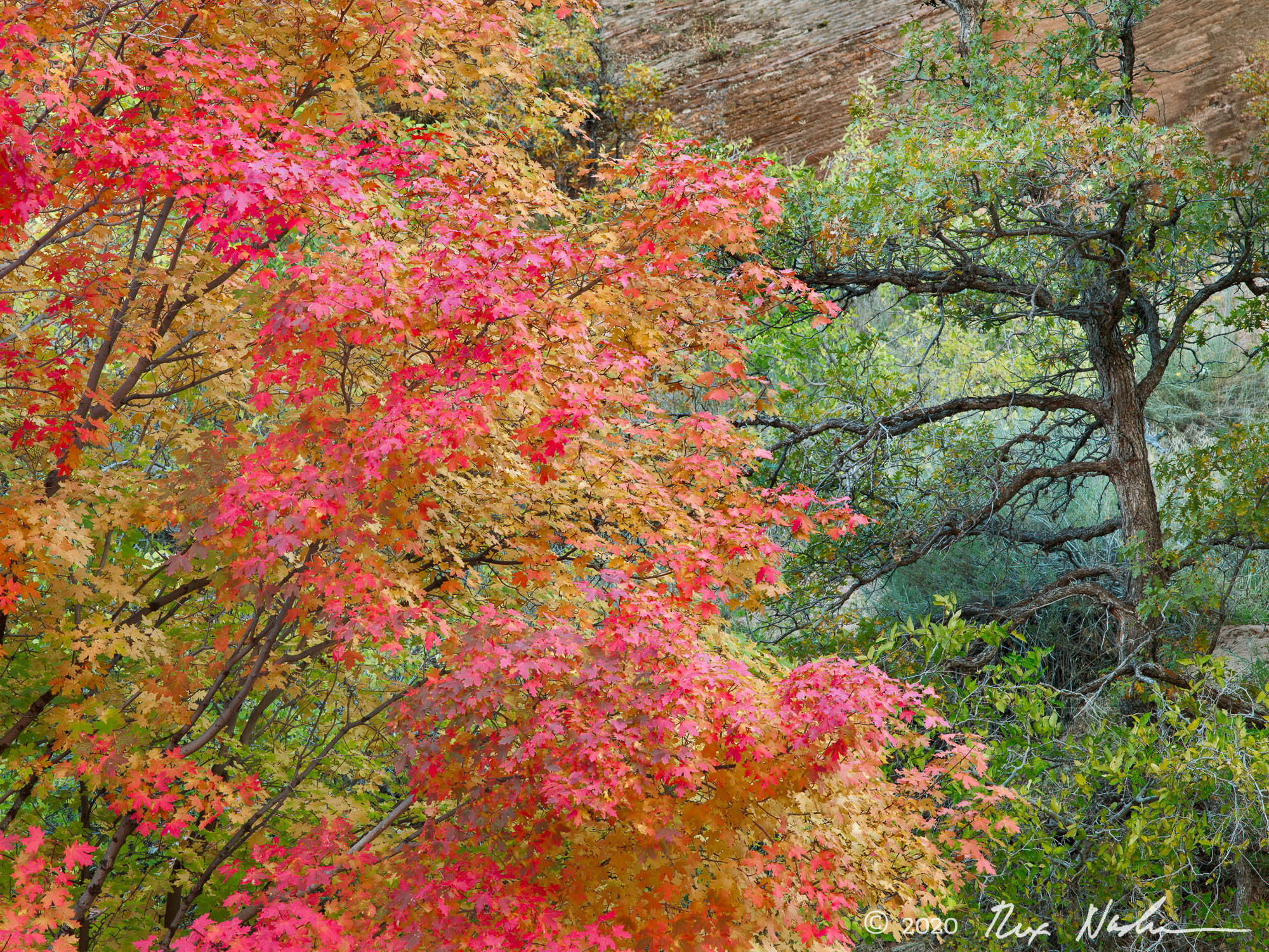 Maple with Pine - Zion NP