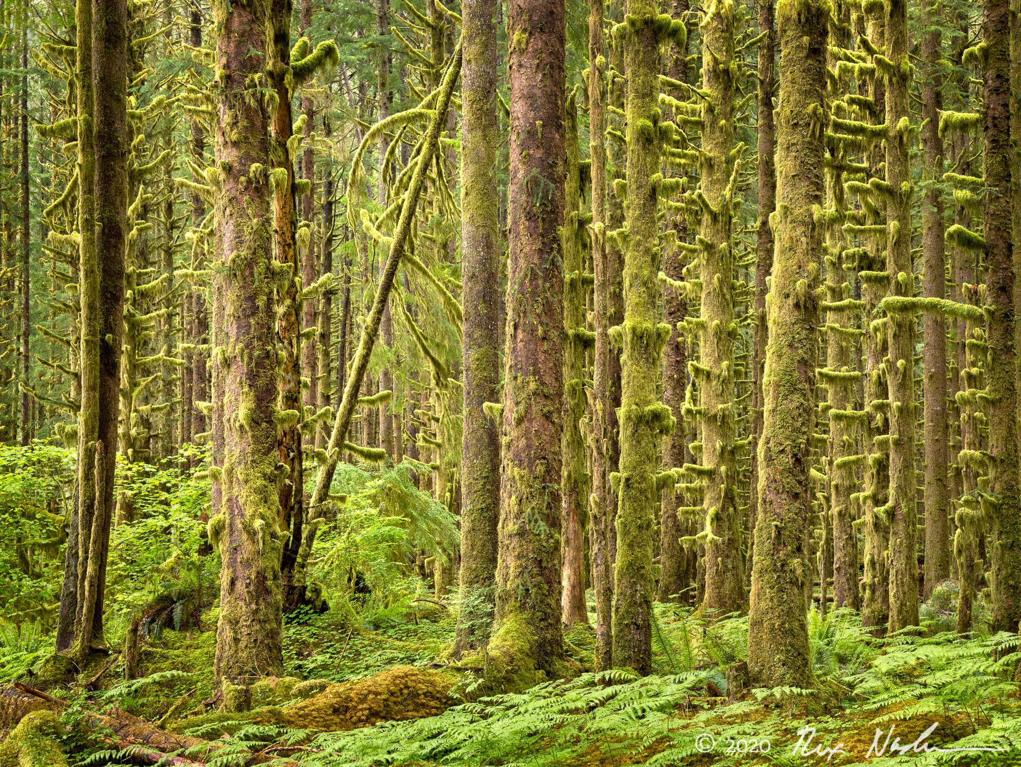 Velvet Errant - Rain Forest, Olympic NP