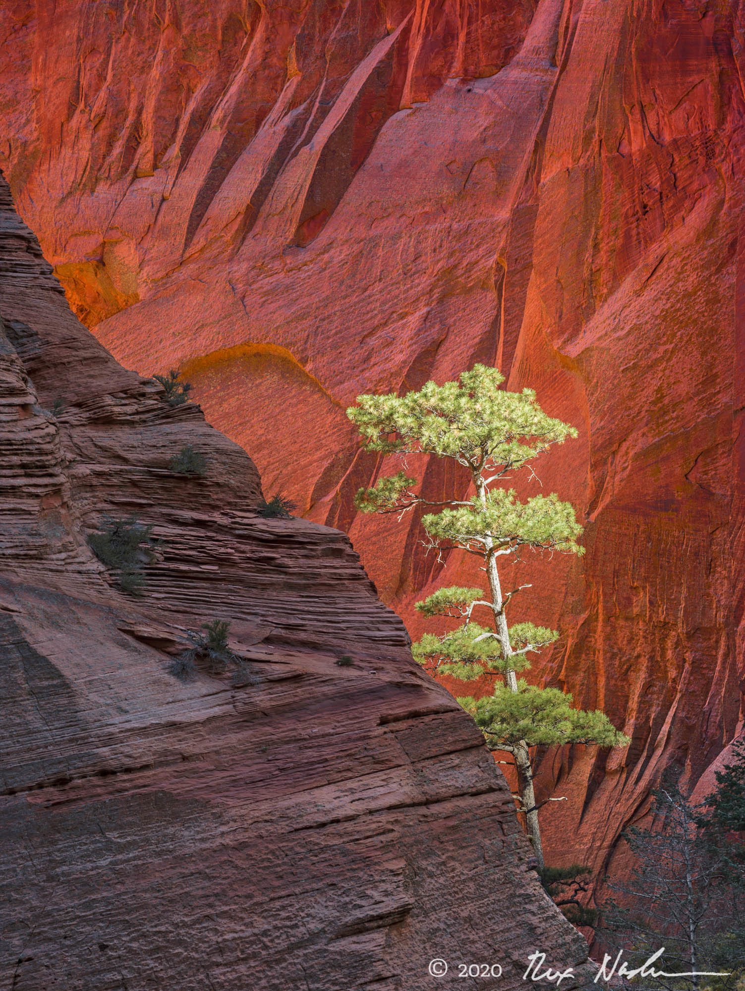 Rift Signal - Pine and Sandstone, Zion NP