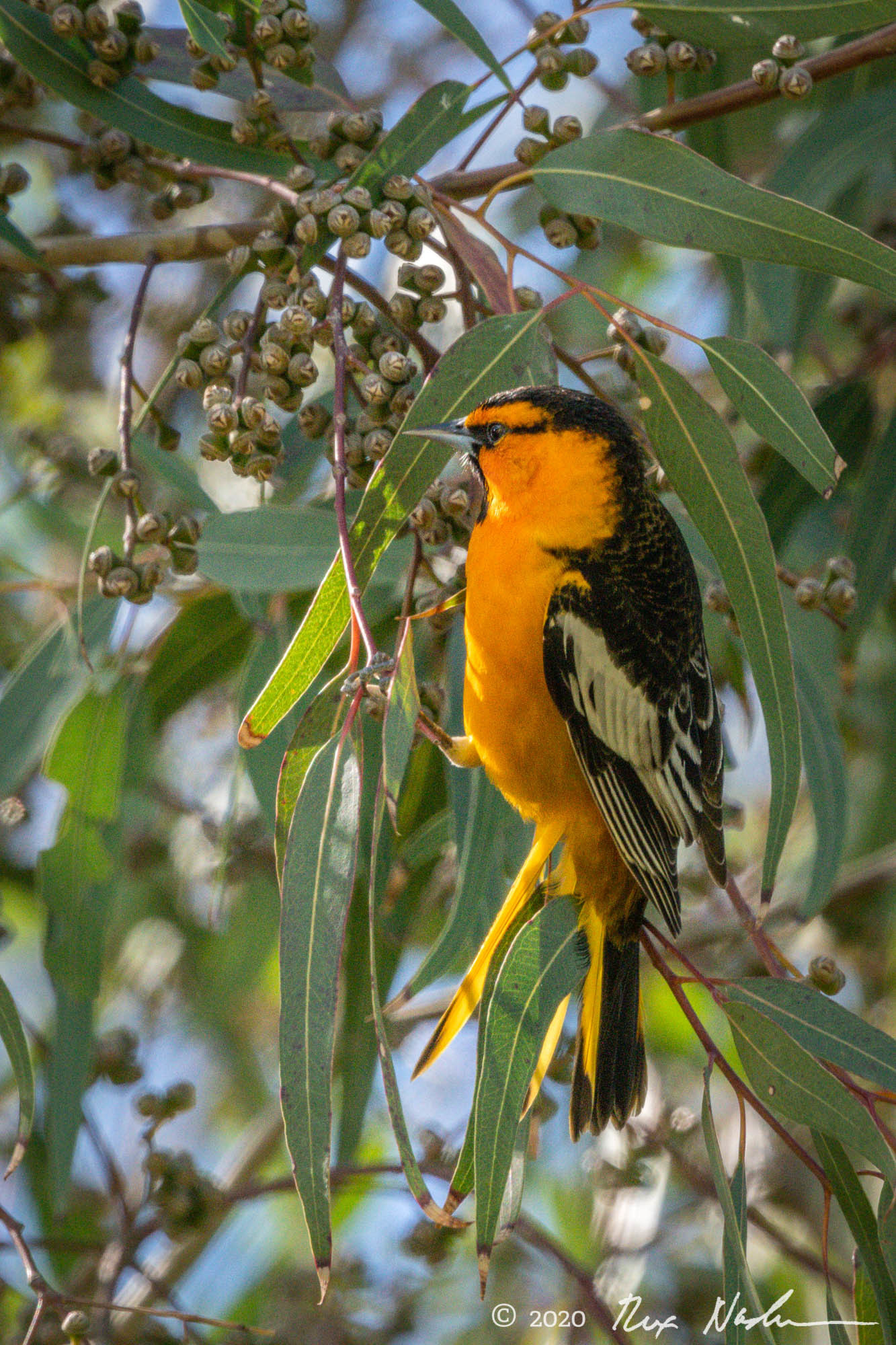 Brewer's Oriole - Carrizo Plain