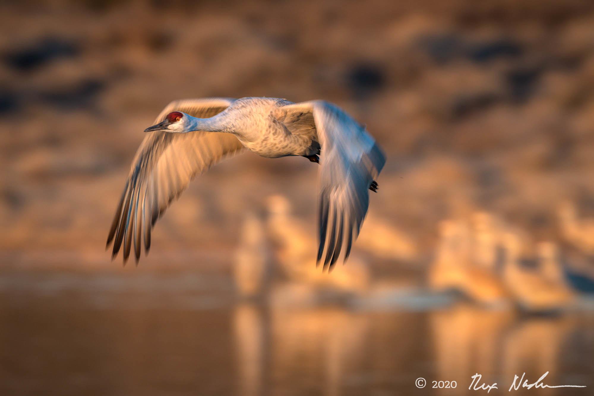 Flock - Bosque del Apache