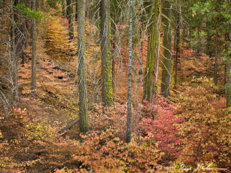 Foret Rouge